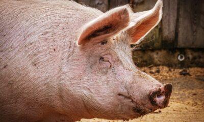 JBS anuncia acordo para aquisição de criadora e processadora de suínos australiana